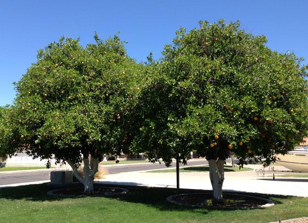 two-orange-trees