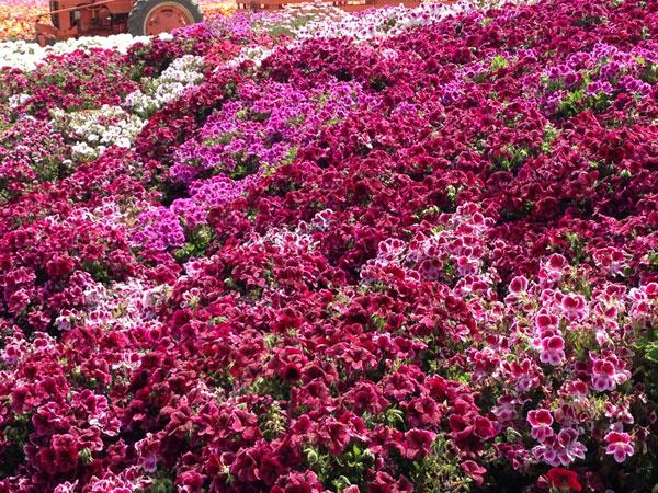 a-planter-of-petunias