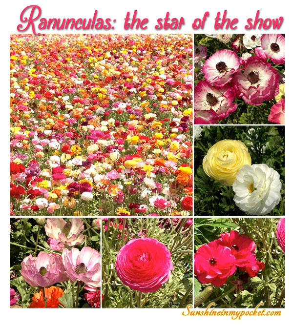 ranunculas-the-star-of-the-show